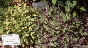 mixtures of sage plants
